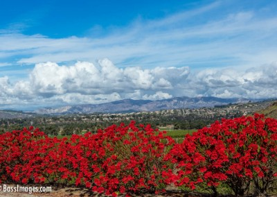 Camarillo-Poinsettia2-20-Edit