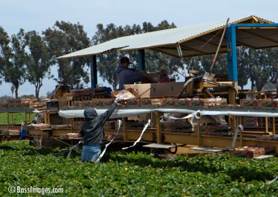 Harvest_Strawberries Oxnard_0209
