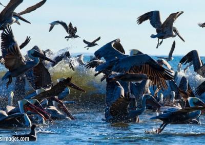 Pelicans_6735