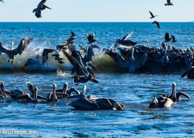 Pelicans_6739