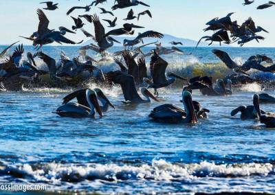 Pelicans_6749