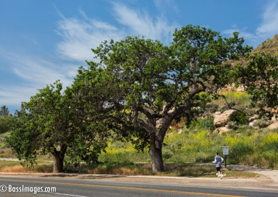 Thousand-Oaks-Trees-jogger-2