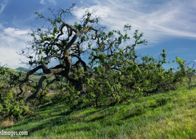 Oak Tree-Pano-2